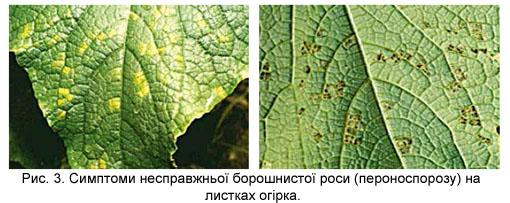 Ложная мучнистая роса (пероноспороз) на листьях огурца