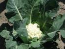 Капуста цветная Ливингстон F1 - 100 семян