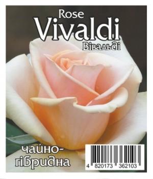 Роза Вивальди (Vivaldi)